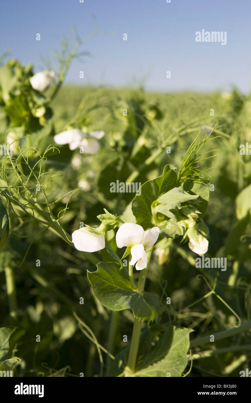Flowering Pea Plants In A Field; Alberta, Canada - Stock Image