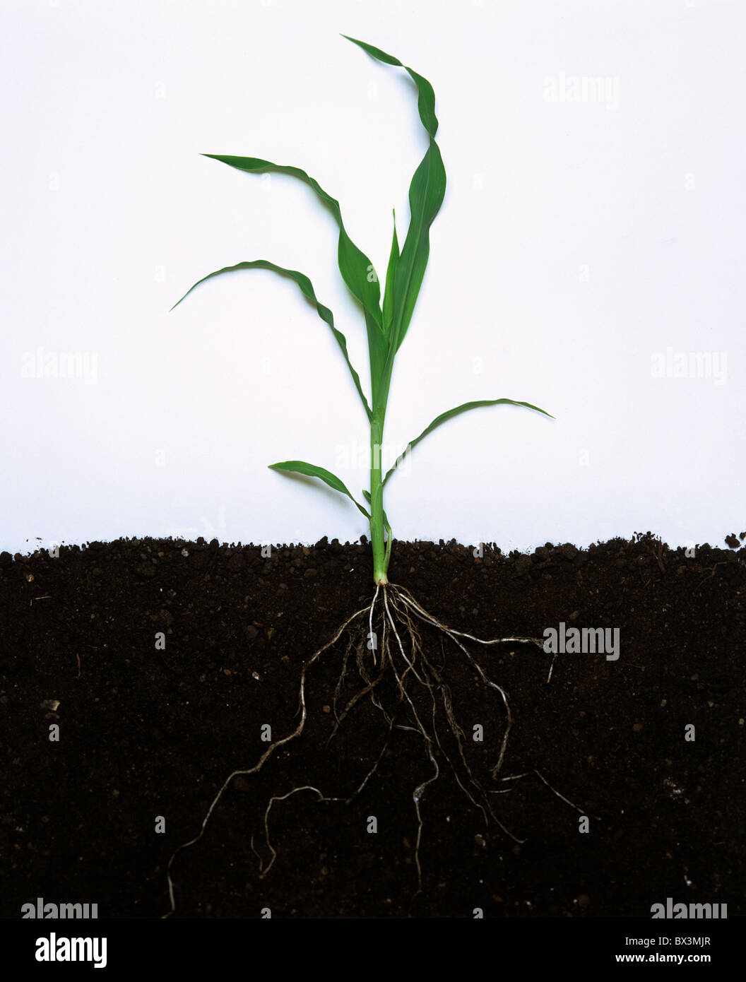 Young maize or corn whole plant with leaves and roots - Stock Image