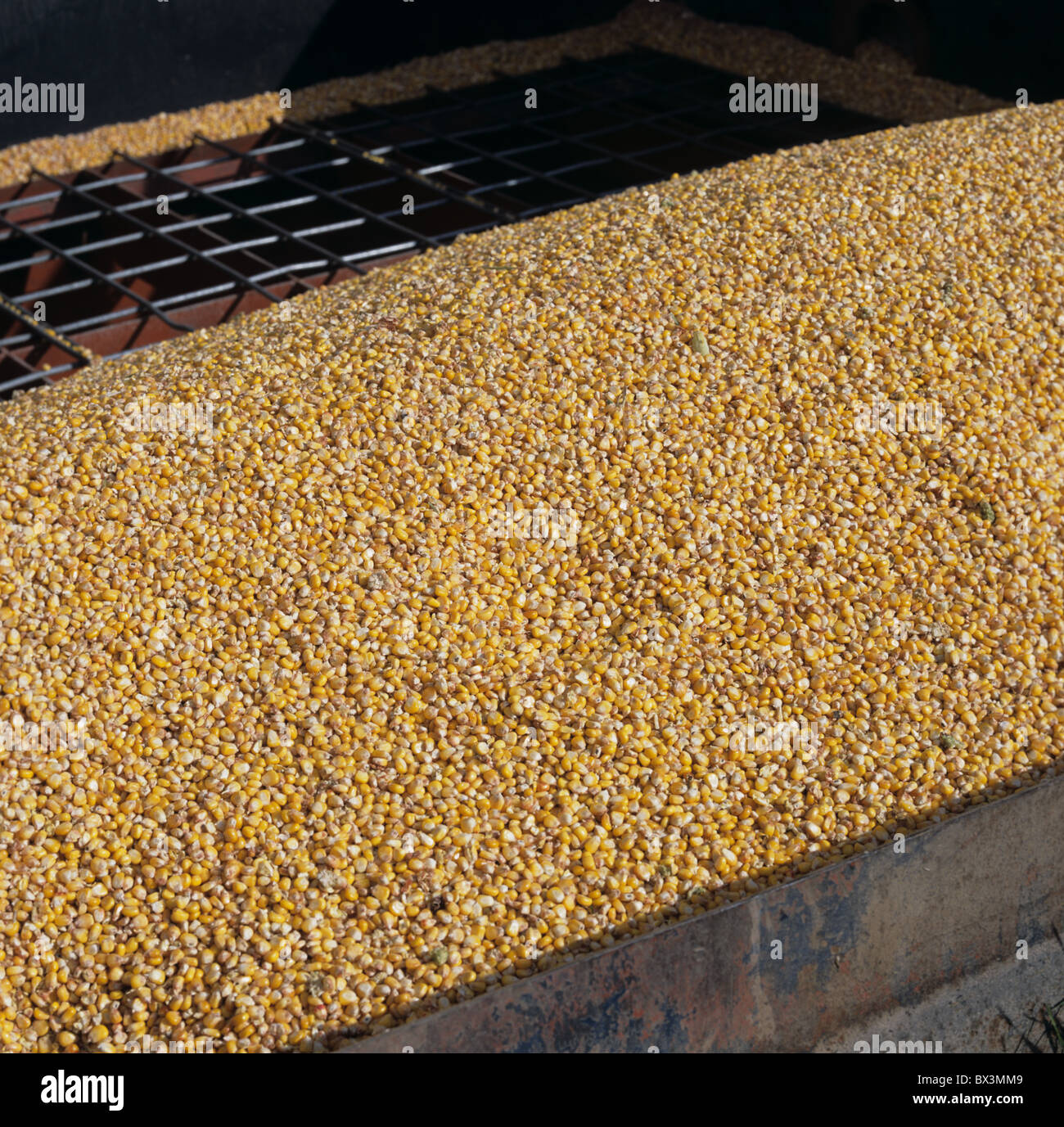 Maize or corn grain in silo hopper from a combined crop for animal feed - Stock Image