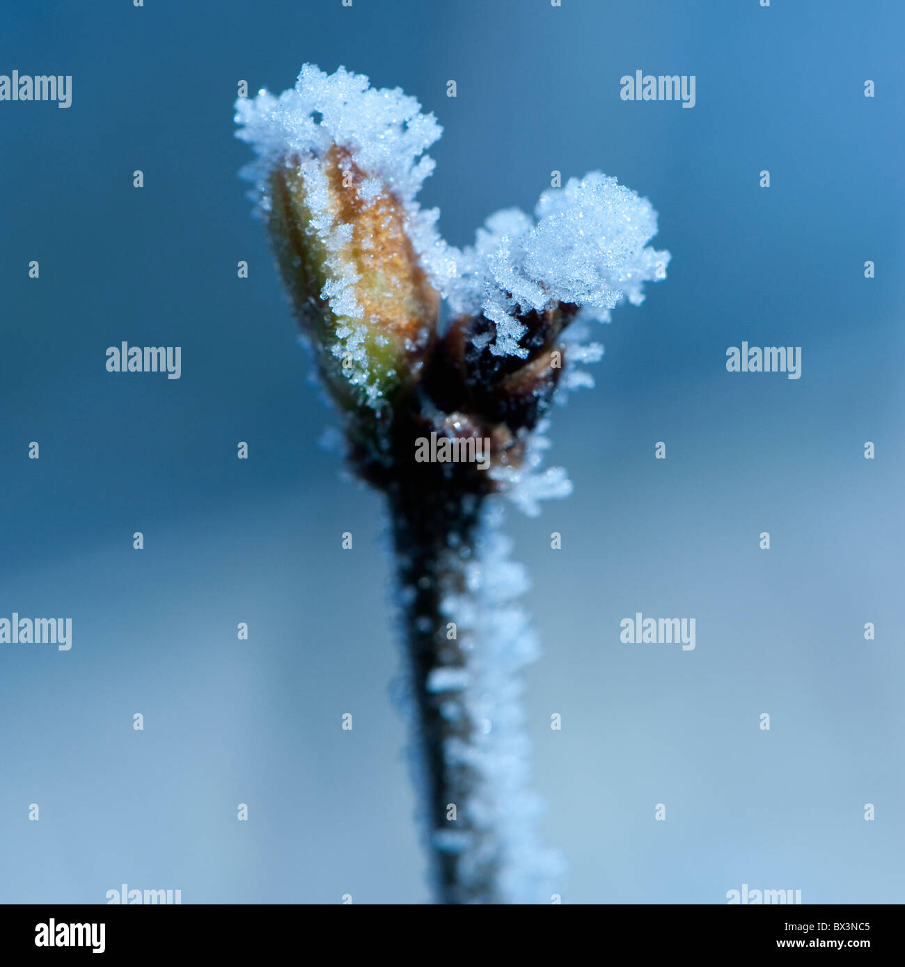 Tree twig branch with bud covered in frost. - Stock Image