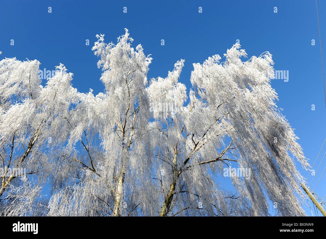 Winter hoar frost on Birch trees Uk - Stock Image
