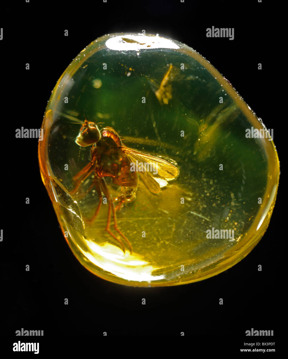 Prehistoric Fly preserved in Baltic Amber - Stock Image