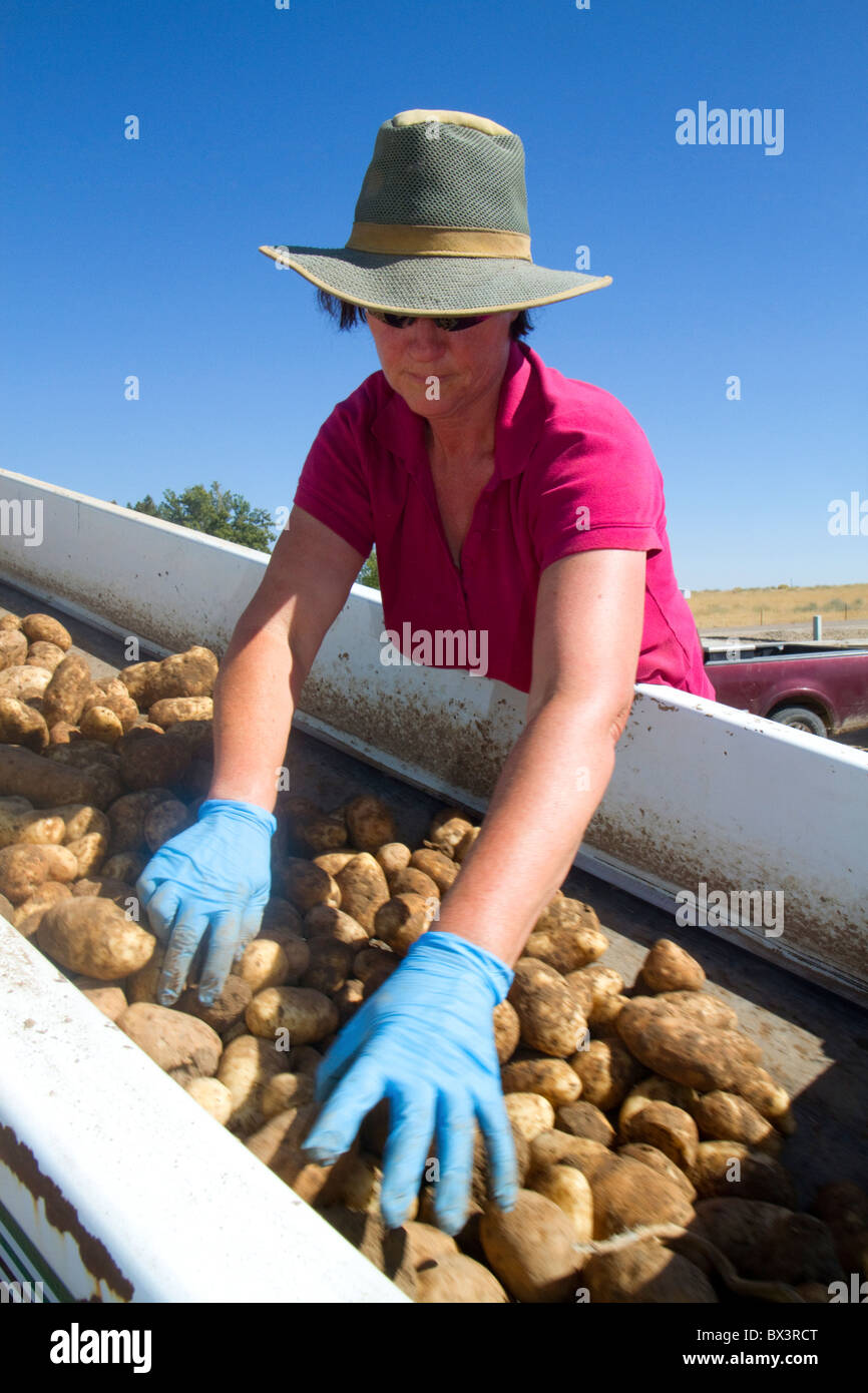 Newly harvested russet potatoes being sorted and loaded onto a truck for transport in Canyon County, Idaho, USA. - Stock Image