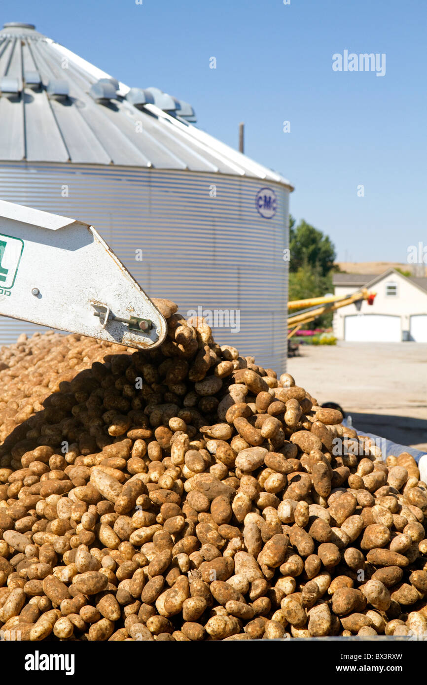 Newly harvested russet potatoes being loaded onto a truck for transport in Canyon County, Idaho, USA. - Stock Image