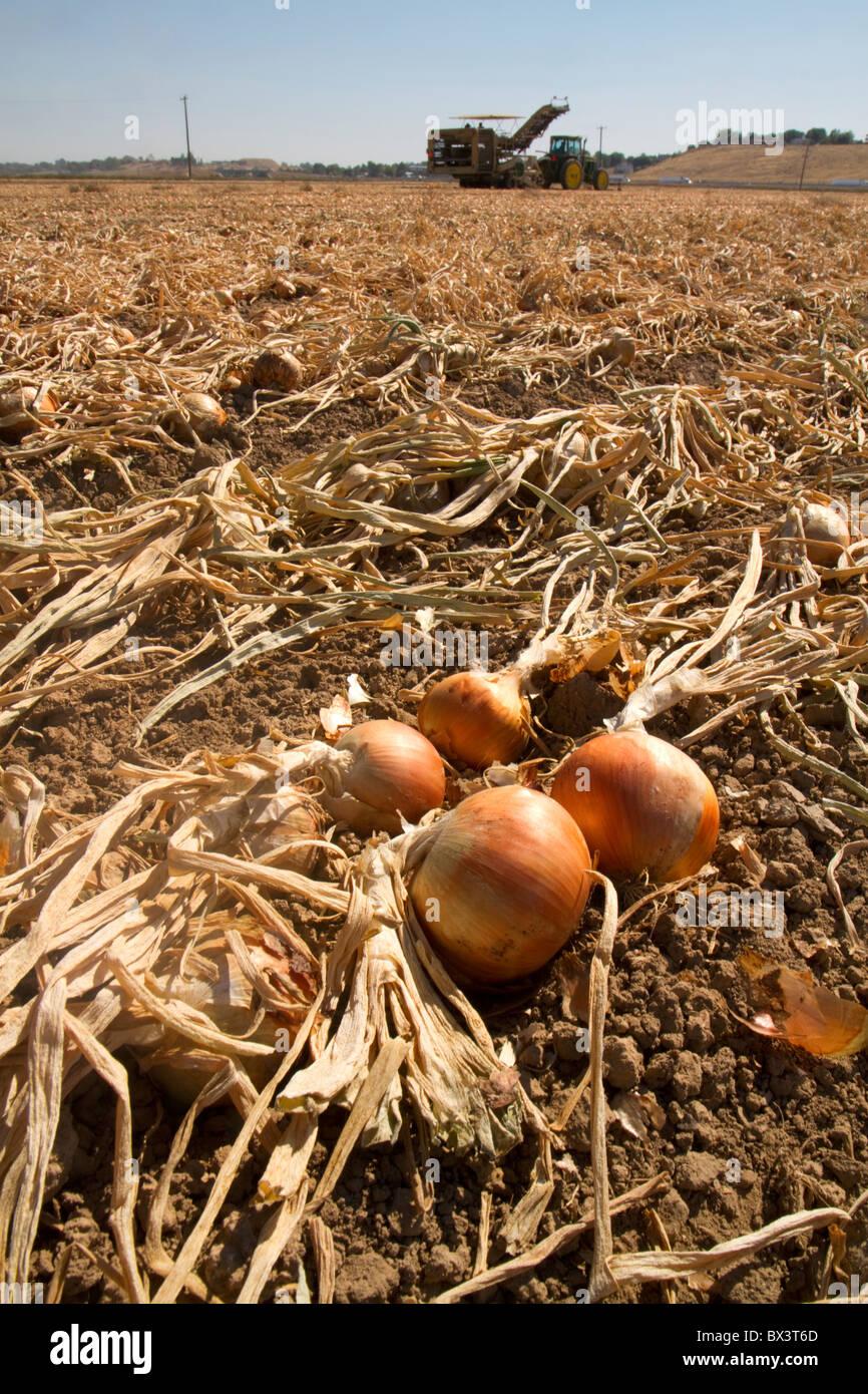 Yellow onion harvest in Canyon County, Idaho, USA. Stock Photo