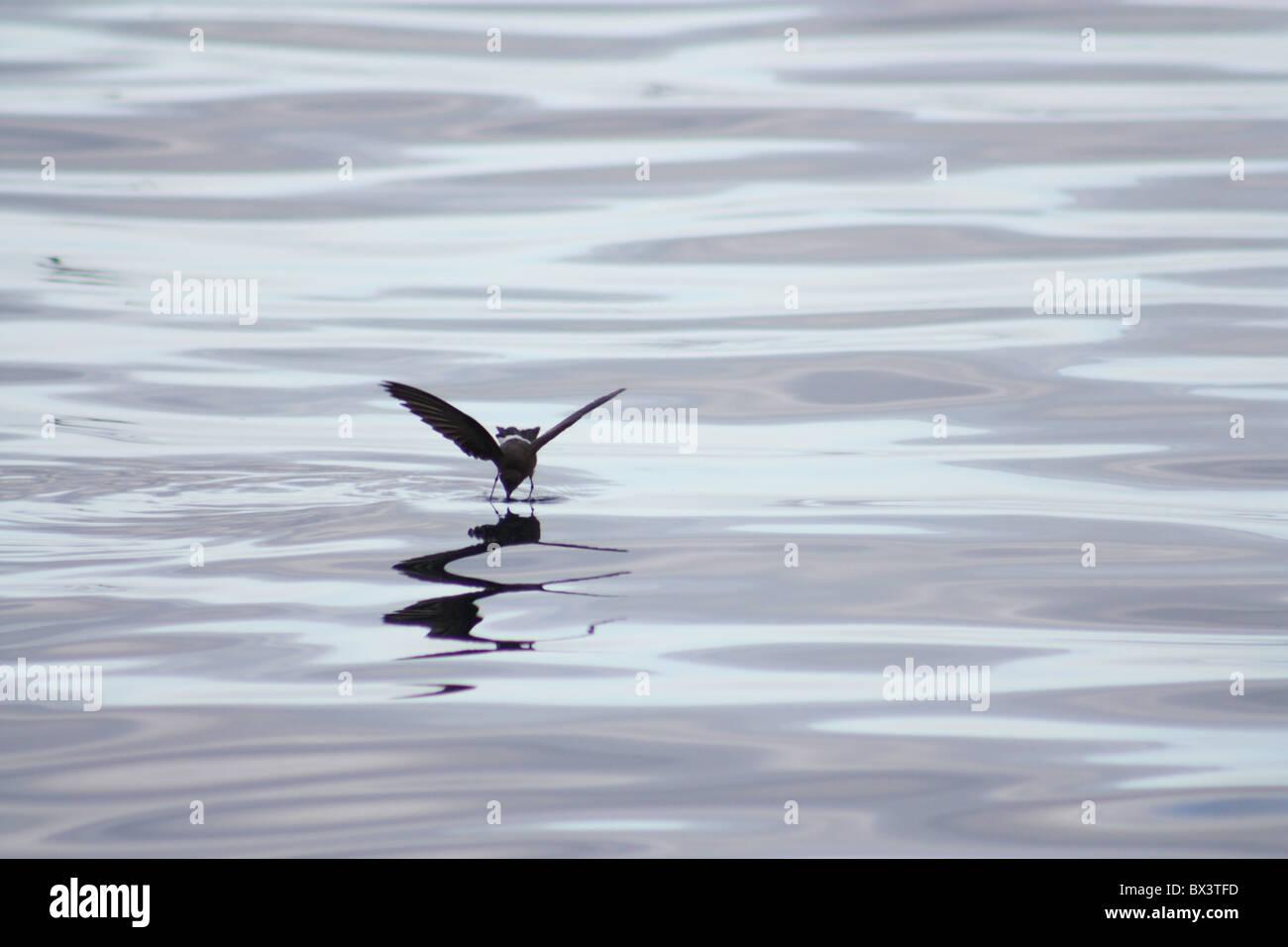 Storm Petrel Walking on Water, Galapagos Islands - Stock Image