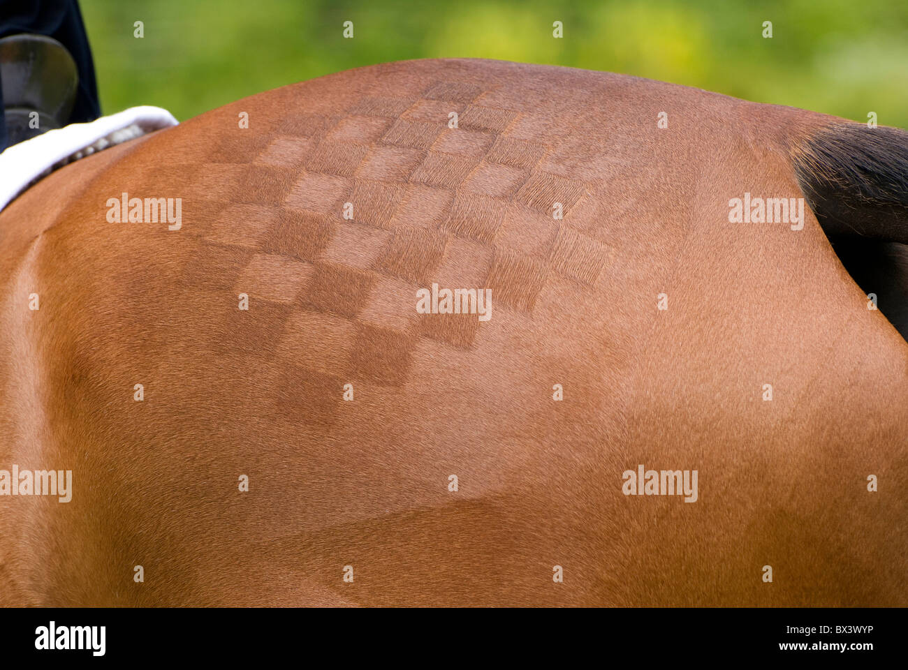 shaved pattern on chestnut eventing horse - Stock Image