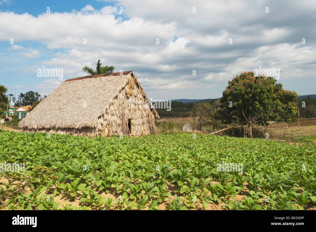 Tabacco Drying Shed; Viñales, Cuba - Stock Image