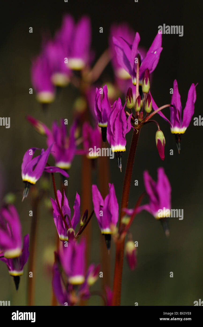 Shooting star flowers (Dodecatheon) Stock Photo