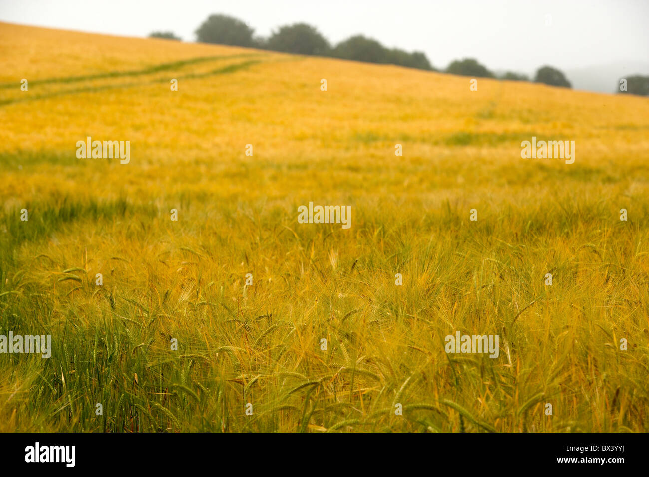 young wheat growing in field UK - Stock Image