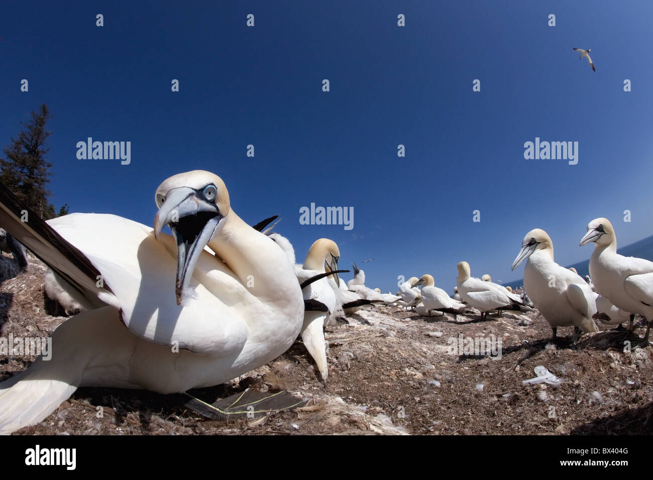 Gannet About To Bite; Perce', Quebec, Canada - Stock Image