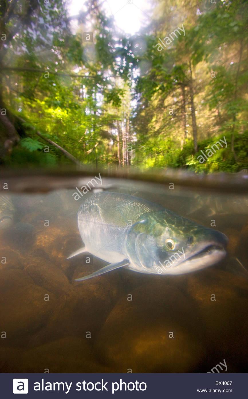 Red Salmon in a stream, Chugach National Forest, Seward, Alaska. - Stock Image