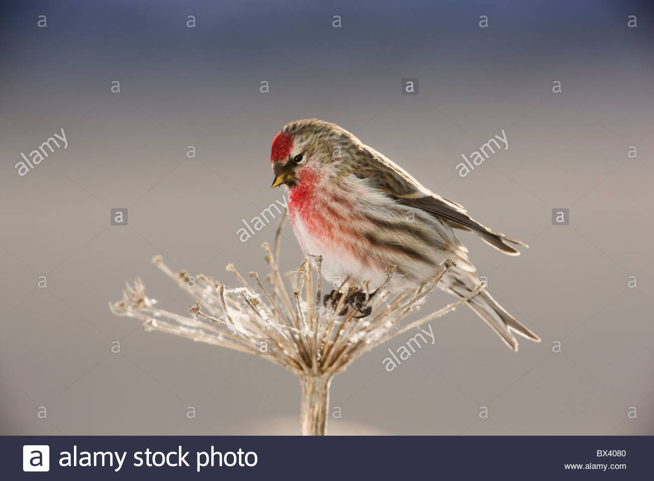 Common Redpoll, Seward, Alaska. (Carduelis flammea) Stock Photo
