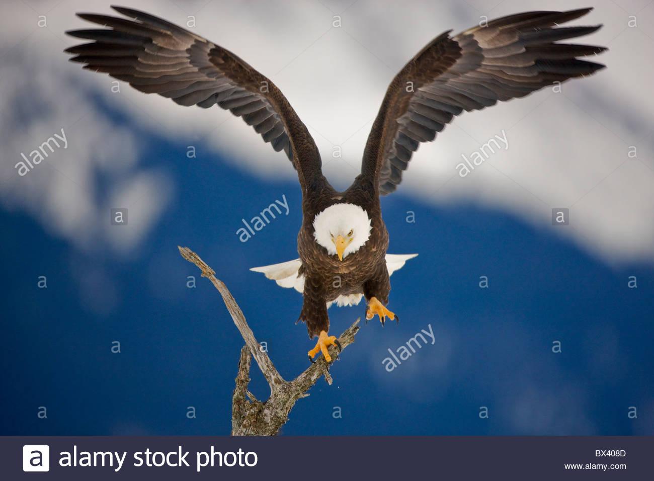 Bald Eagle in the Chugach National Forest, near Seward, Alaska. - Stock Image