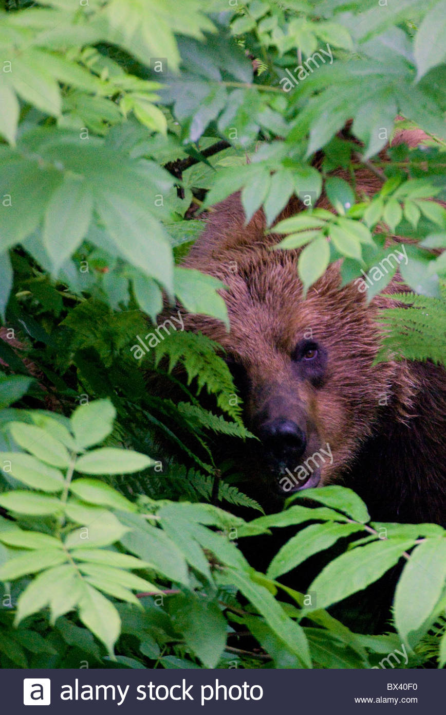 A Brown or Grizzly Bear, Chugach National Forest, near Seward, Alaska. - Stock Image