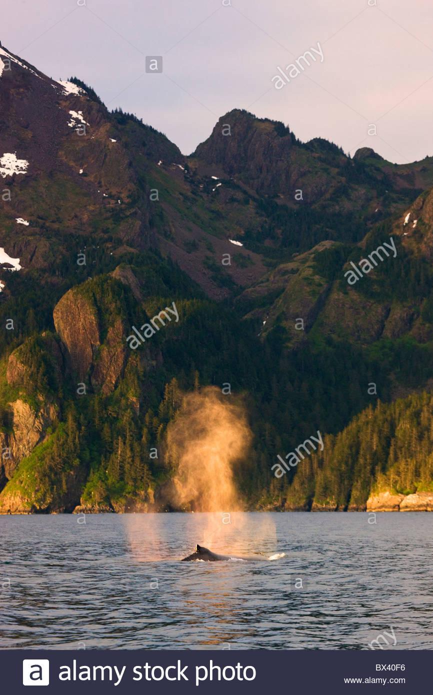 Humpback whale, Kenai Fjords National Park, near Seward, Alaska. - Stock Image