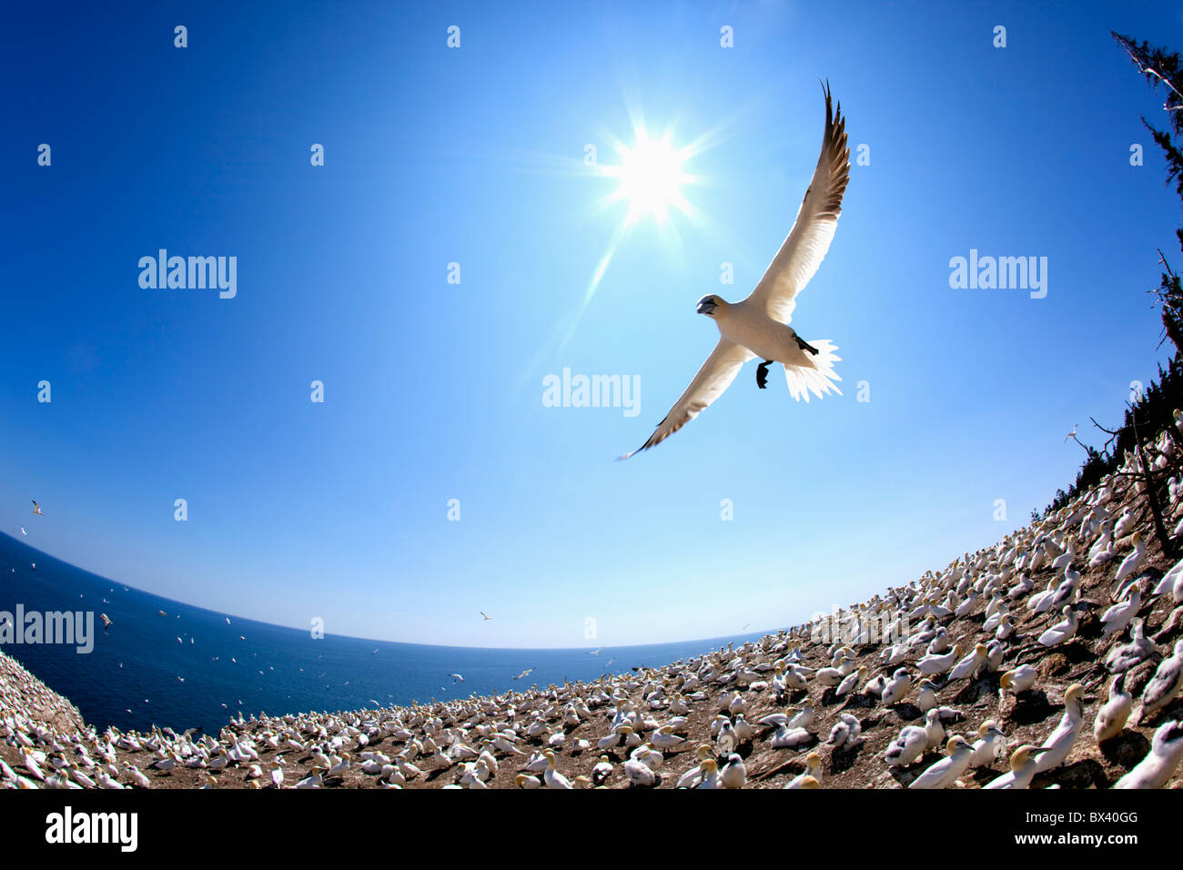 Gannet Flying On A Journey To Find His Mate At Bonaventure Island; Perce', Quebec, Canada - Stock Image