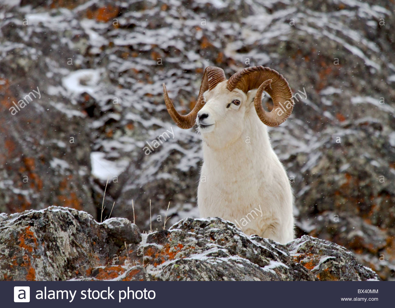 Alaska. Dall sheep (Orvis dalli) full curl ram in the snowy mountains of Chugach State Park, Turnagain Arm.. - Stock Image