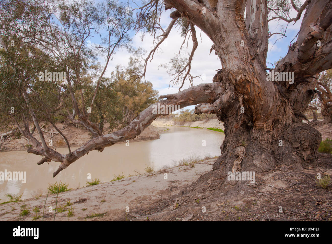 An old, gnarled River Red Gum on the banks of the Darling River, Kinchega National Park, Menindee, Broken Hill, - Stock Image