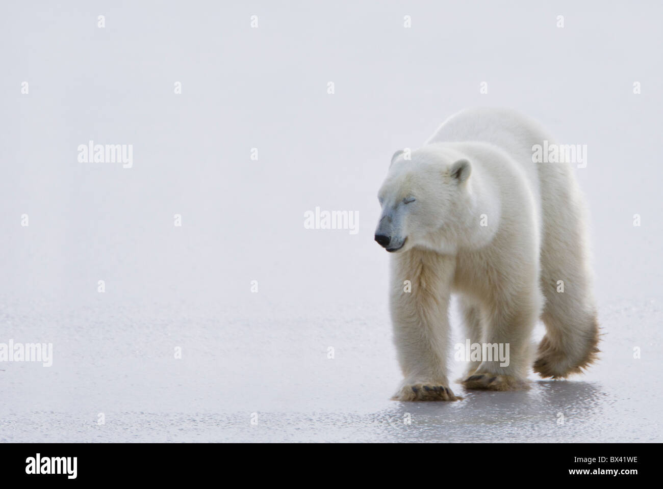 Polar Bear (Ursus Maritimus) Walking On Ice With Eyes Closed, Looking Gentle And Calm; Churchill, Manitoba, Canada - Stock Image