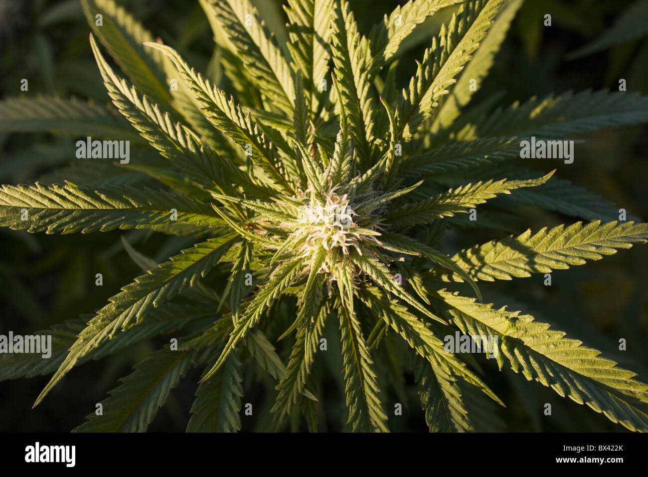 Marijuana Plant; Waterloo, Quebec, Canada - Stock Image
