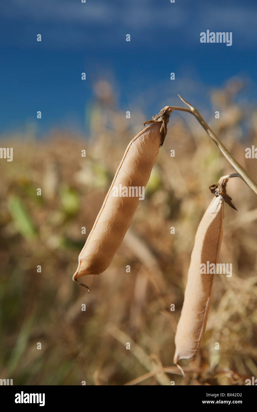 Dried Pea Pods In A Field; Alberta, Canada - Stock Image