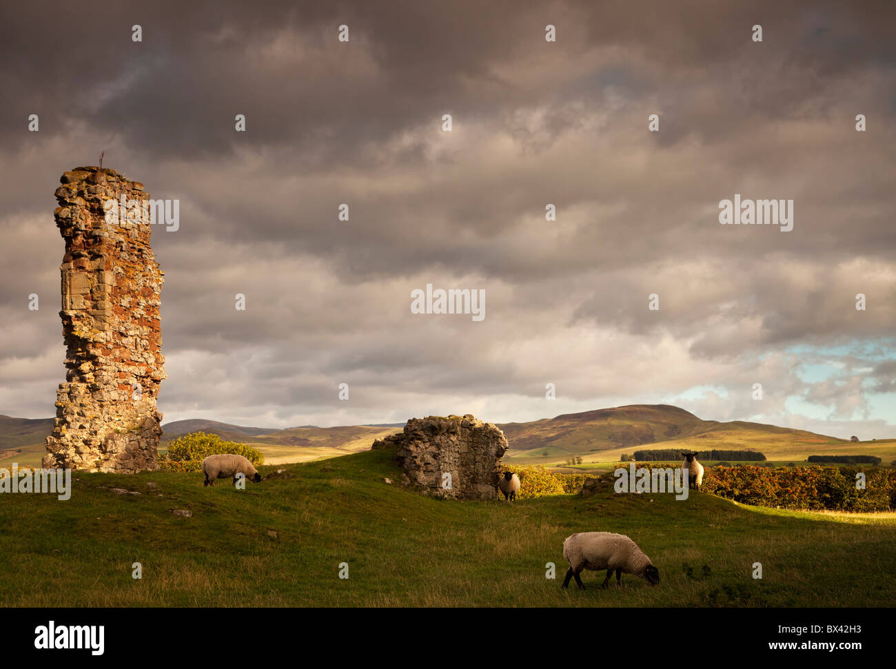 Ruins Of Cessford Castle With Sheep Grazing In The Field; Scottish Borders, Scotland - Stock Image