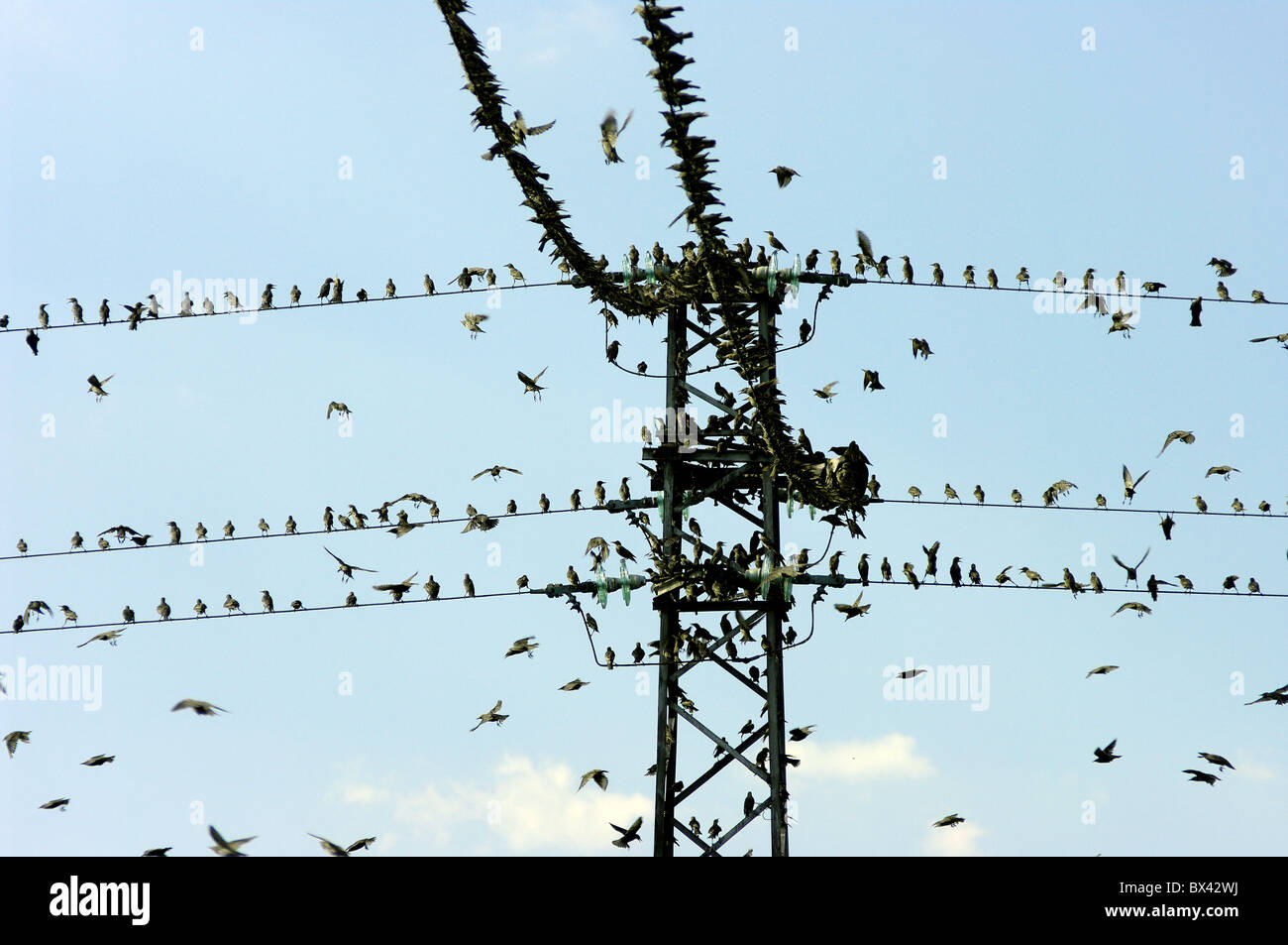A flock of blackbirds perched on the line. - Stock Image
