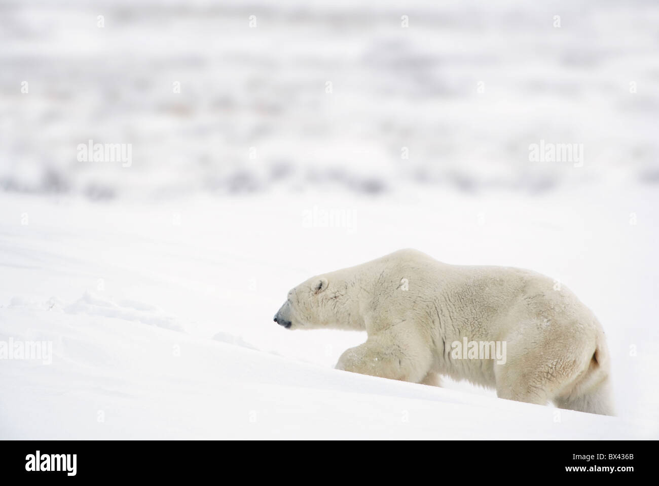 A Polar Bear (Ursus Maritimus) Journeys Through Heavy Snow To Search For Food; Churchill, Manitoba, Canada - Stock Image