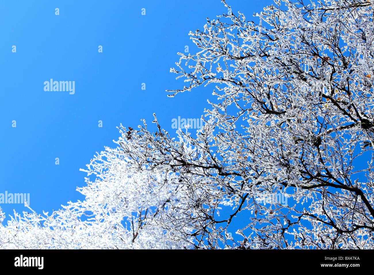 snow covered bare trees against blue sky - Stock Image