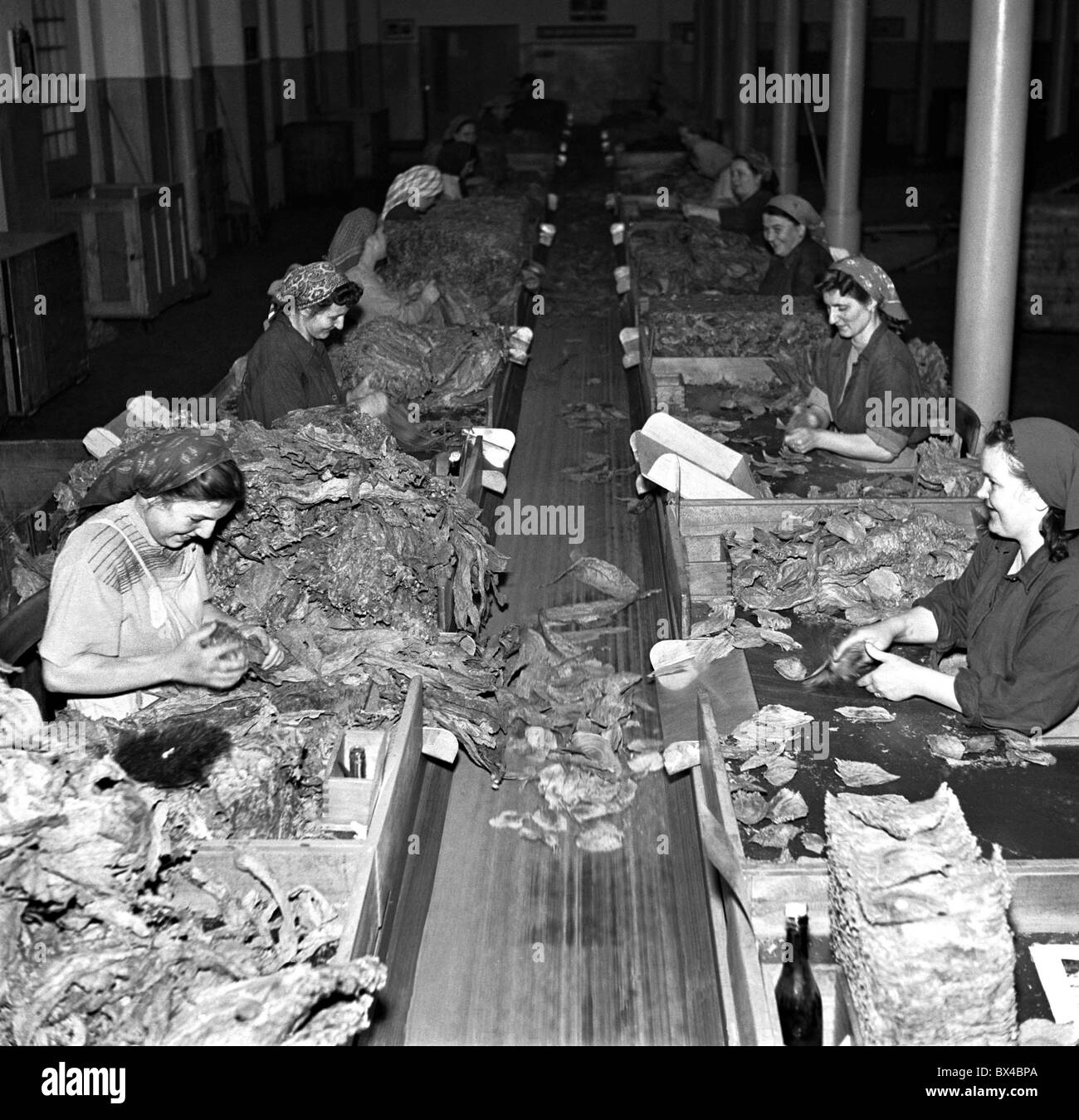 Czechoslovakia -  Budweiss 1950. Women sort through tobacco leaves at tobacco factory. CTK Vintage Photo - Stock Image