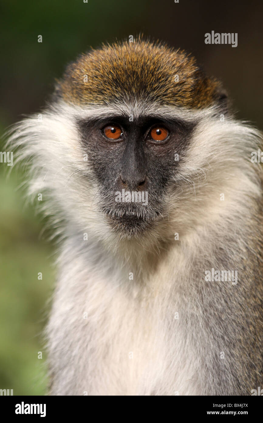 Head And Face Of Grivet Monkey Cercopithecus aethiops Taken at Wendo Genet, Ethiopia - Stock Image