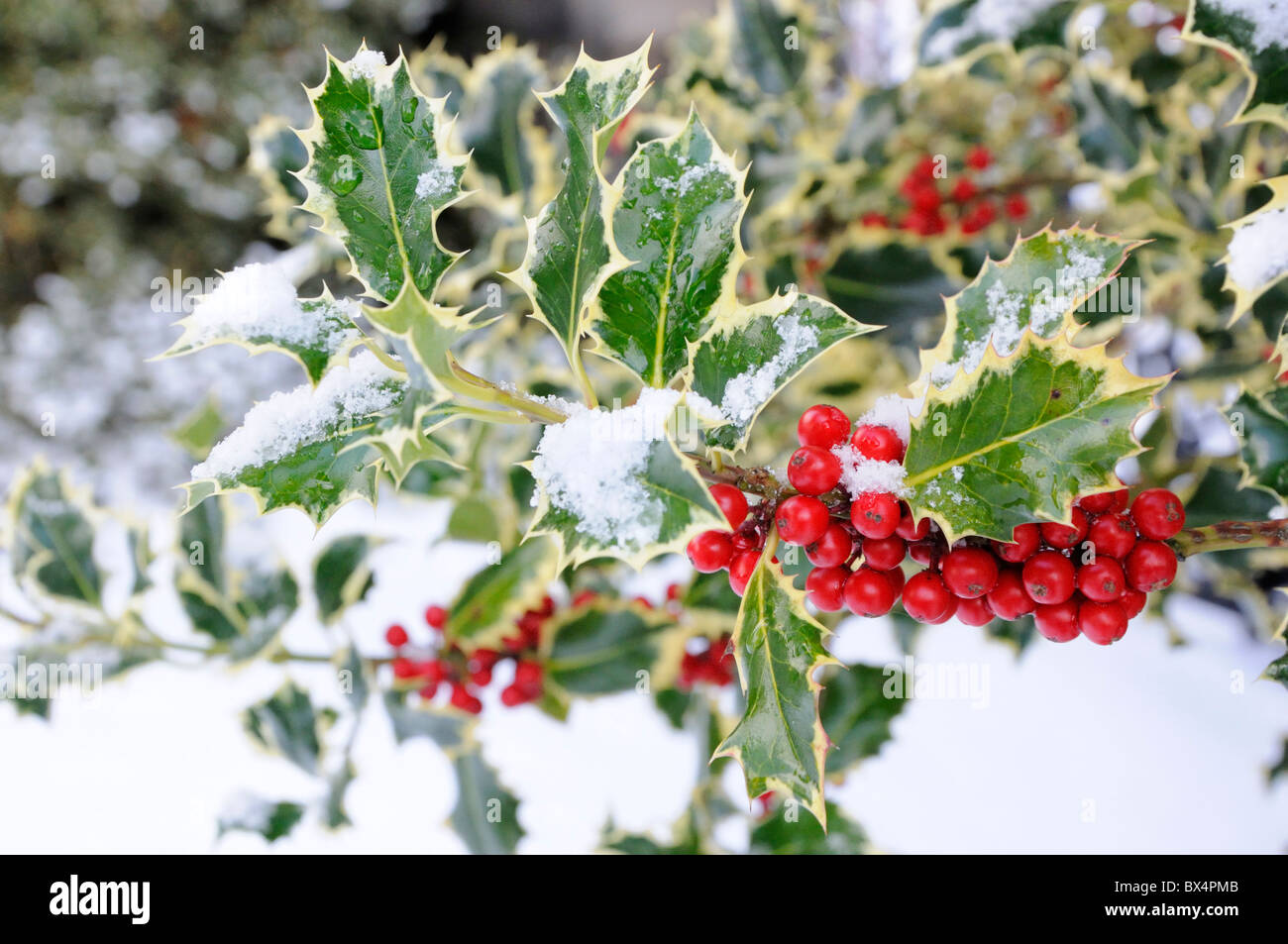 Red holly berries and snow - Stock Image