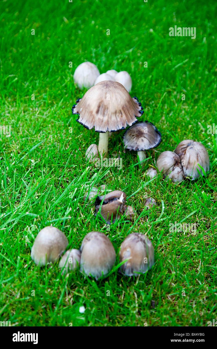 Wild Mushrooms In Garden Stock Photo 33300724 Alamy