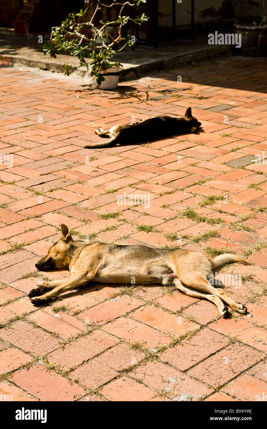 Dogs lying in the sun at Wat Buppharam in Chiang Mai in Thailand - Stock Image