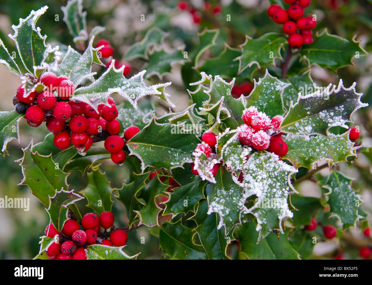 Holly and berries in snow - Stock Image