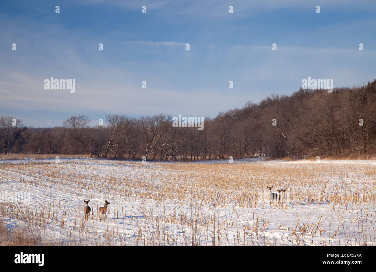 white-tailed deer, along the River Bluffs Scenic Byway, Fayette County, Iowa - Stock Image