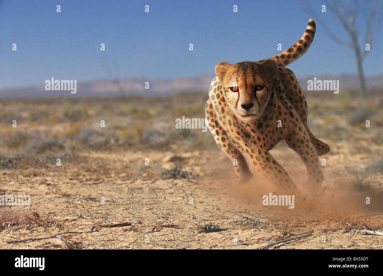 Cheetah running, artwork - Stock Image