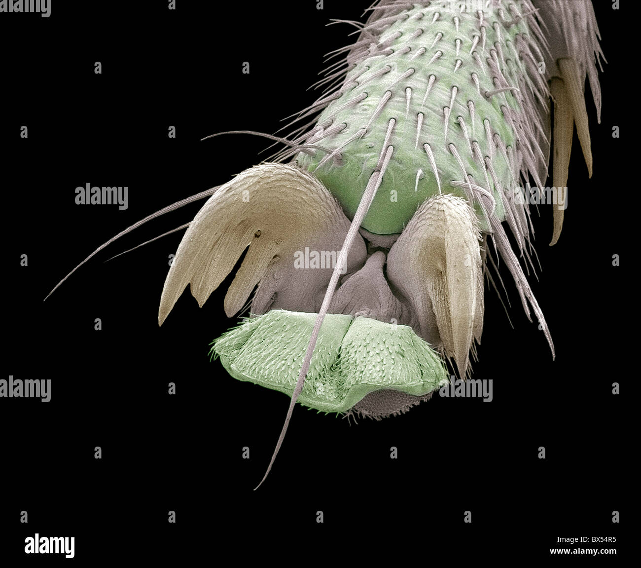 Scorpion fly foot, SEM - Stock Image