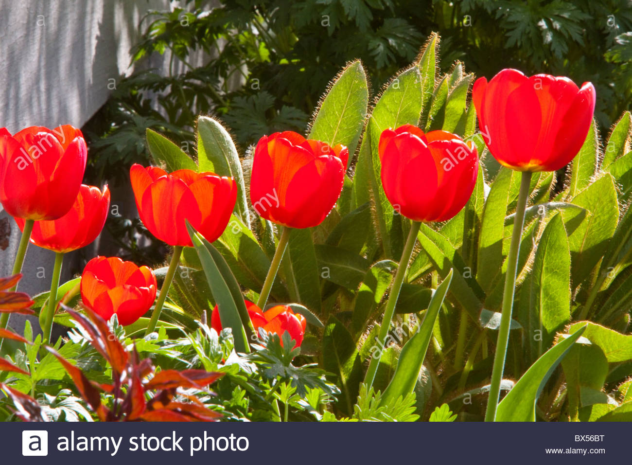 Beautiful Red Tuips in an Anchorage Garden - Stock Image