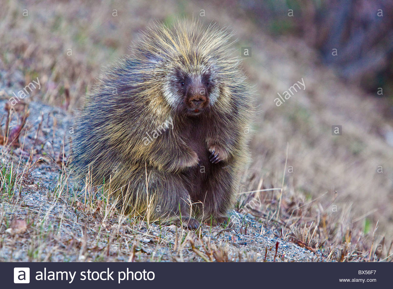 Porcupine posed in a sitting position for his picture - Stock Image