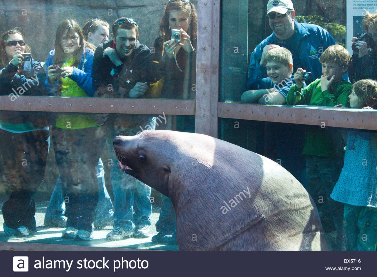 Sealife Center in Seward, Alaska Stellar Sea Lion giving the visitors and tourists a surprise greeting Stock Photo