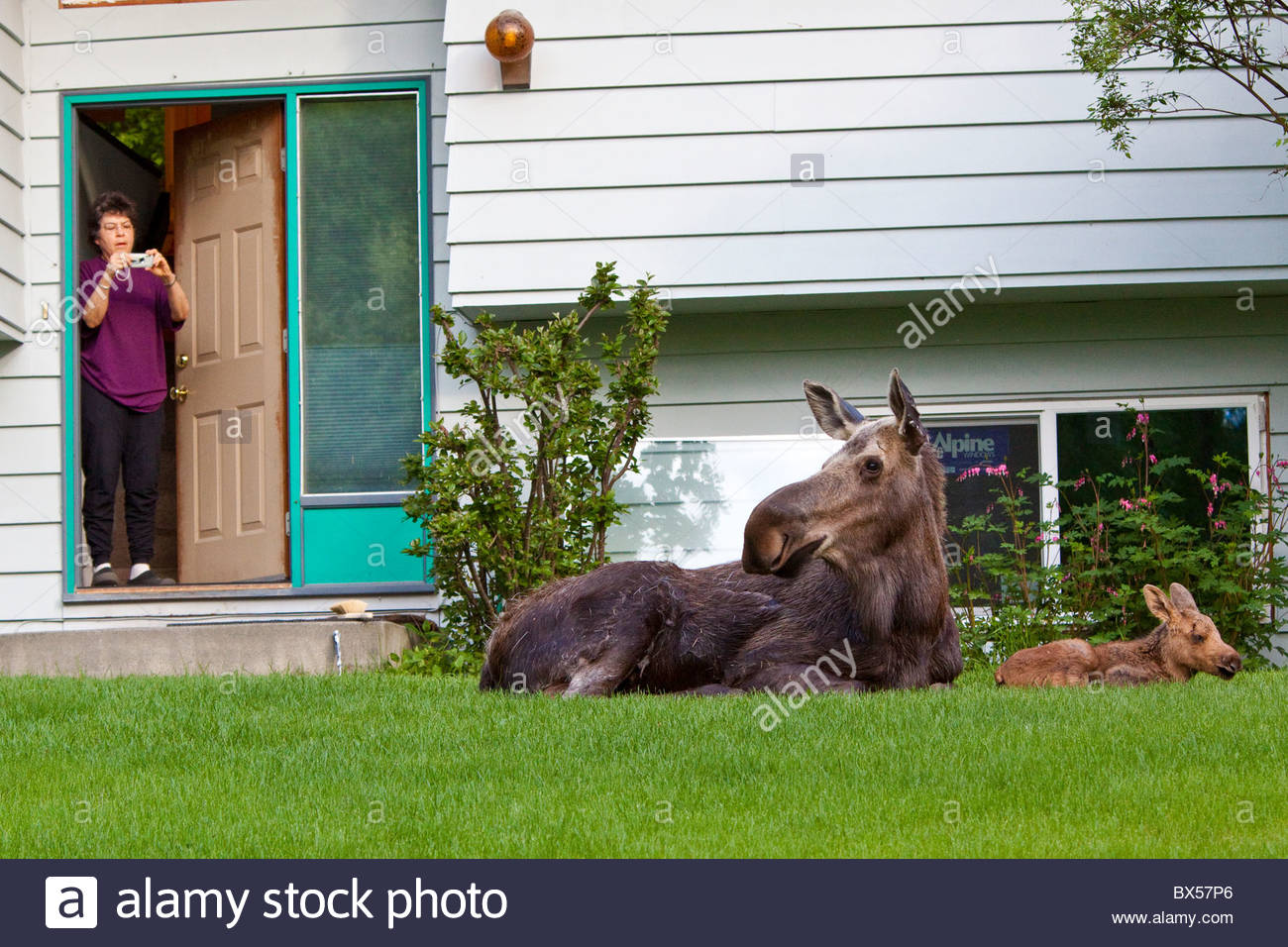 Mama Moose laying down in residential yard with one twin - Stock Image