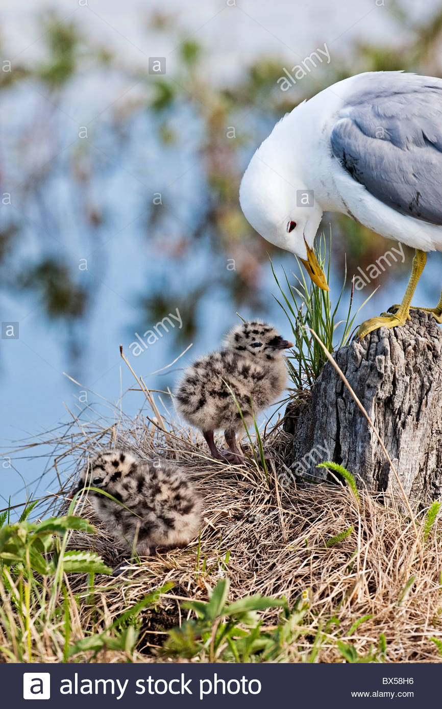 USA, Alaska. Adult Mew Gull (Larus canus) oversees two days-old chicks near a nest on a small island in Potter Marsh - Stock Image