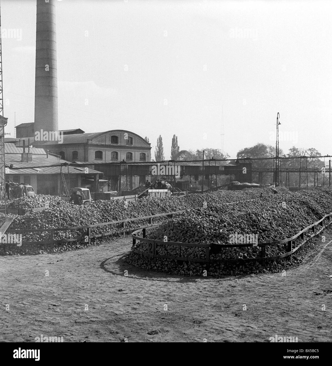 Metric tons of sugarbeets are piled up at sugar refinery in Cesky brod, Czechoslovkai 1959. (CTK Poto / Jiri Finda) - Stock Image