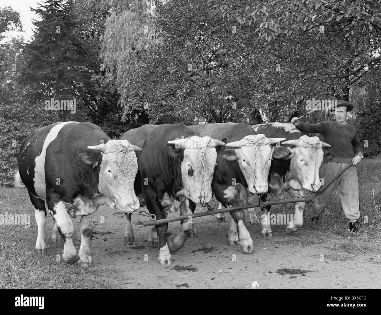 Bulls selected for breeding during obligatory morning walk at  Libechov Czechoslovakia 1960. (CTK Photo / Karel - Stock Image