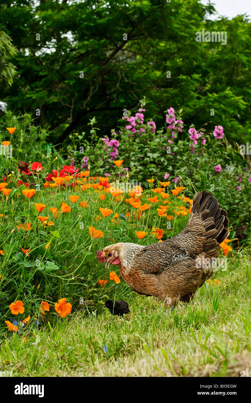 Spring, Hen and chick explore spring garden - Stock Image