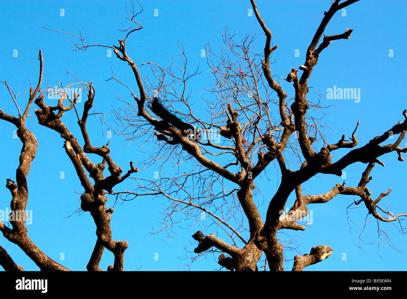 a peacock sitting on  a dead tree - Stock Image