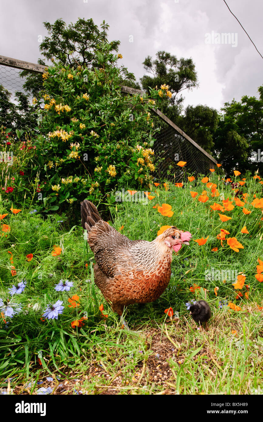 Spring, Hen and chick explore garden - Stock Image