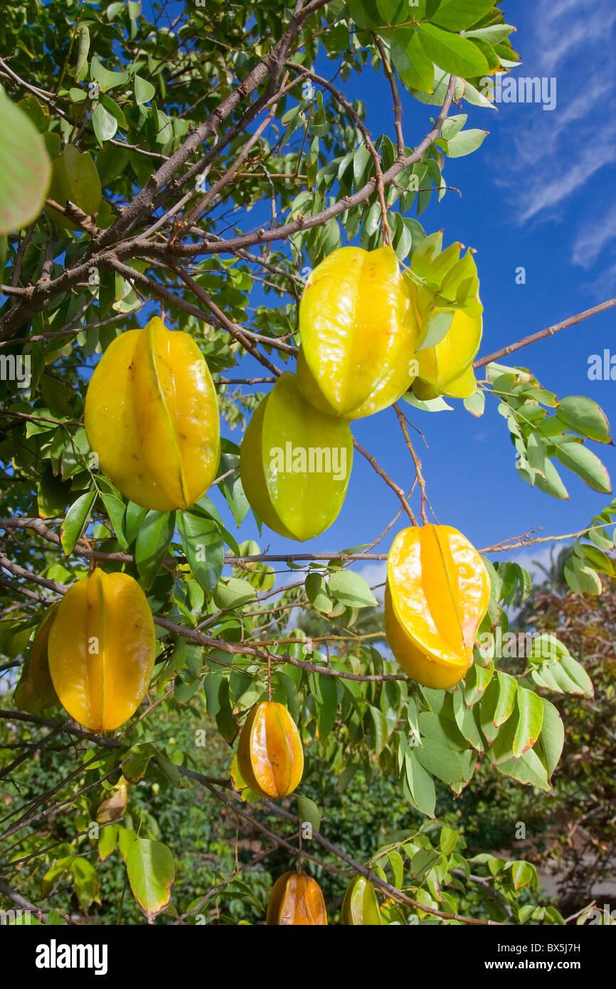 Starfruit or carambolas (Averrhoa carambola) on the tree - Stock Image